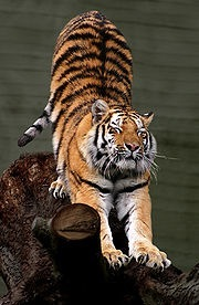 180px-Siberian_Tiger_by_Malene_Th
