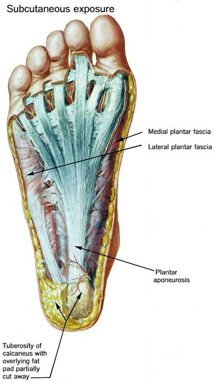 Anatomy Of Plantar Foot Surface Levin And Chellen Chiropractic